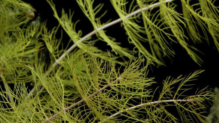 Northern Watermilfoil Myriophyllum Sibiricum Savin